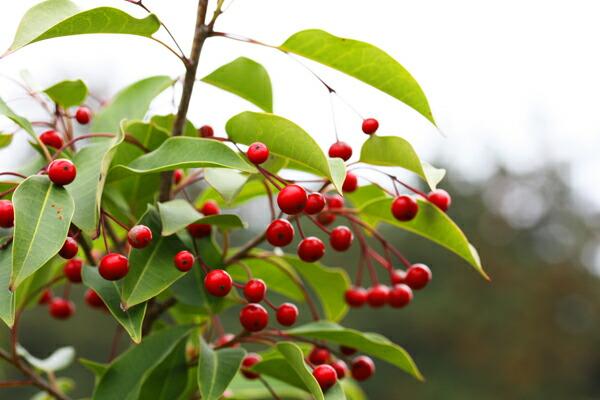 冬の赤いルビーソヨゴの実