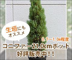 生垣にもオススメ! 21.0cmポット好評販売中!