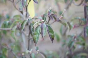 ガビサンヤマボウシの冬の様子