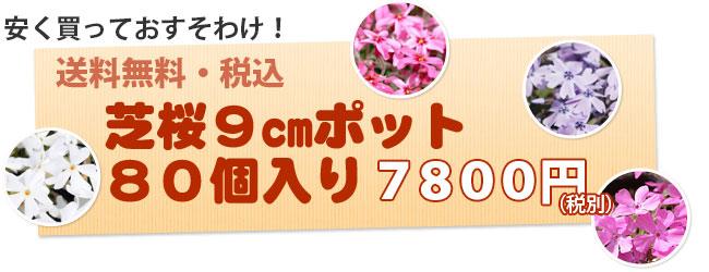 芝桜80ポットセット