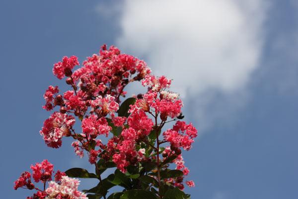 白縁赤花品種の「夏祭り」(別名:ペパーミントレース)