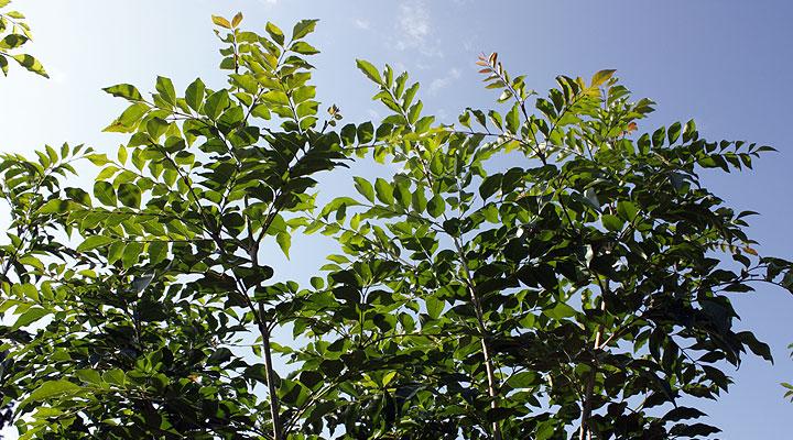 青空に映える緑色の葉:シマトネリコ