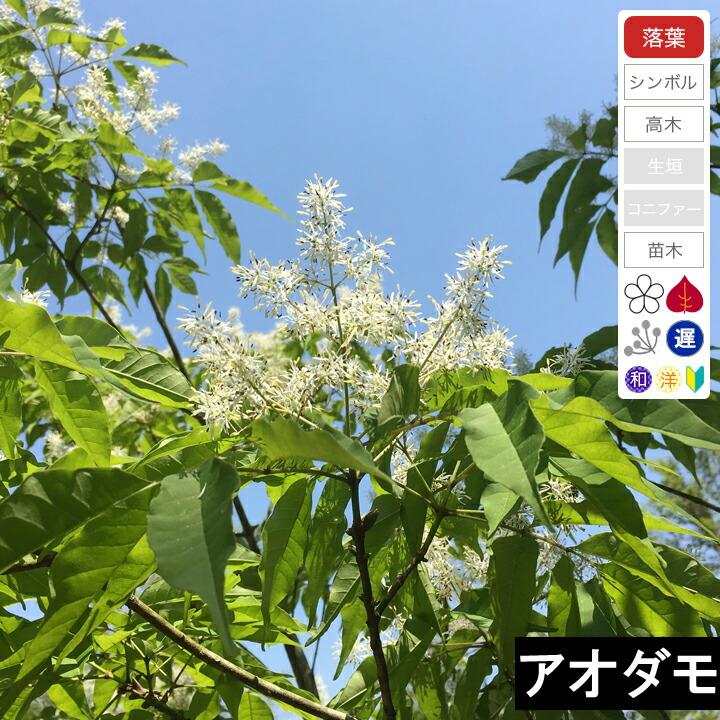 【2021年最新版】シンボルツリー ・アオダモの人気おすすめランキング15選【紅葉・花を楽しむ】