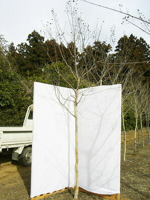 サルスベリ樹形