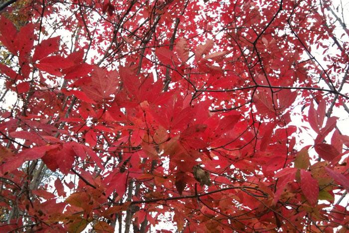 紅葉が美しいメグスリノキ