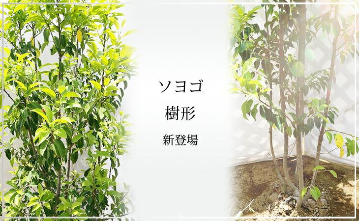 「ソヨゴ 樹形」の販売