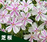 「芝桜 ポット苗」の販売