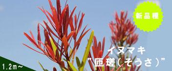 """「イヌマキ""""匝瑳"""" 1.2メートル」の販売"""