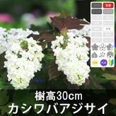 「カシワバアジサイ 樹高30�」の販売