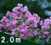 「サルスベリ紫 2.0メートル」の販売