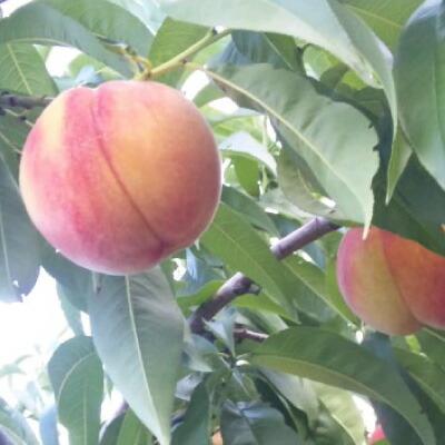 黄金桃&白桃など 1箱で色々楽しめる詰め合わせ