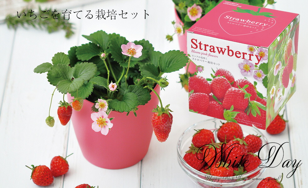 いちご栽培セット ストロベリー
