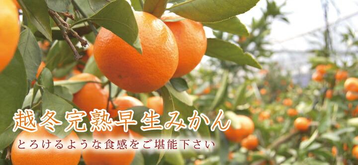 早和果樹園の 越冬完熟早生 top