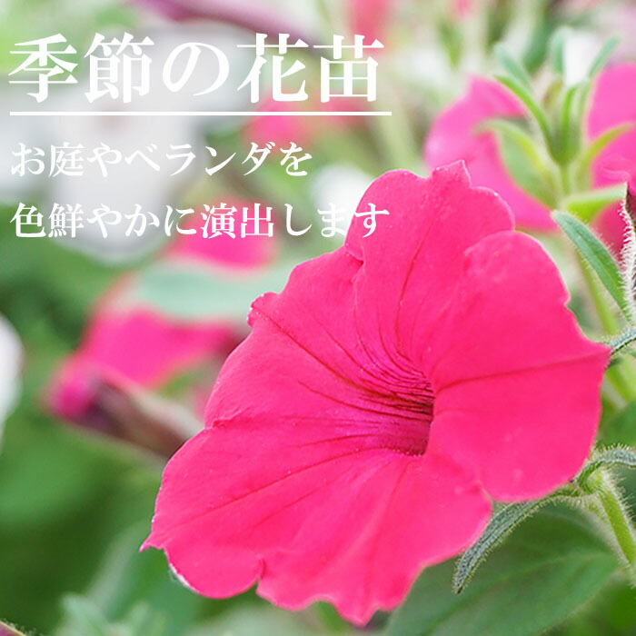 季節の花苗