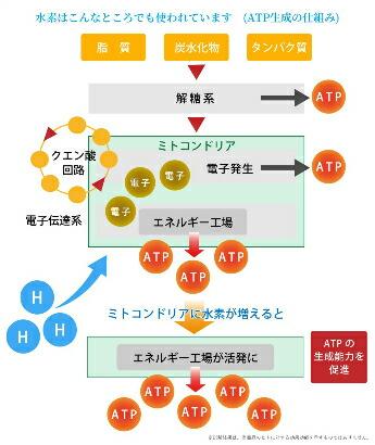 クエン酸サイクルをサポート!水素は実はここにも関与