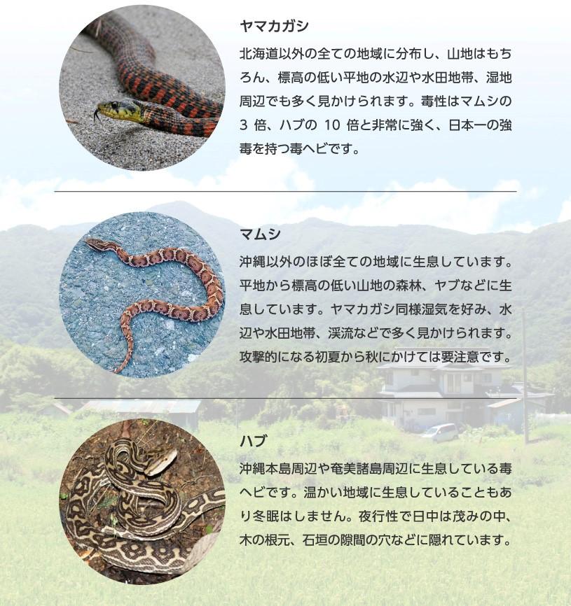 ヤマカガシはマムシの3倍、ハブの10倍の毒性を持つ強毒の毒ヘビです。