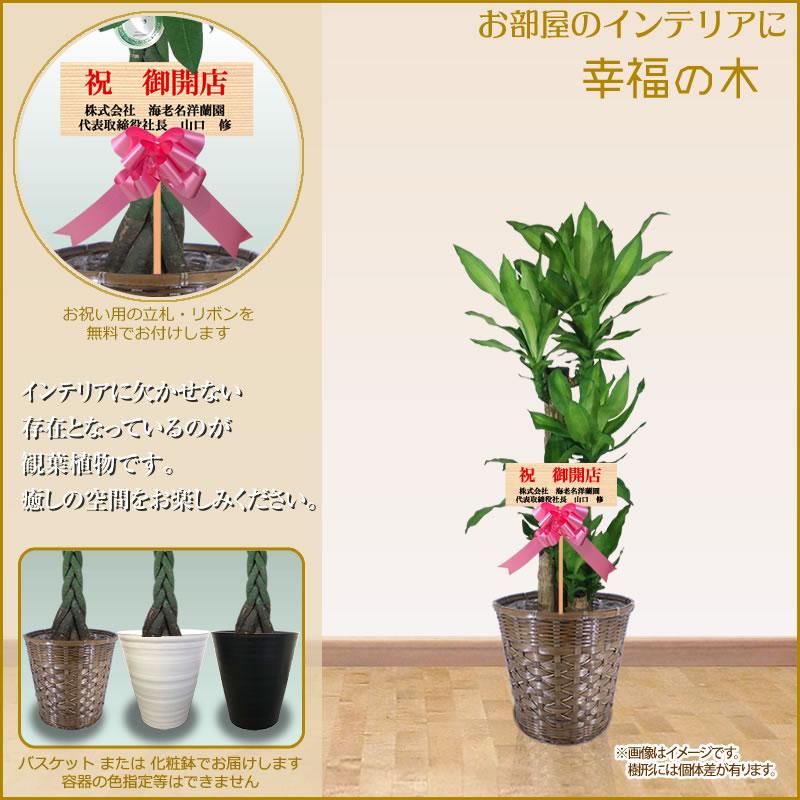 幸福の木10号鉢