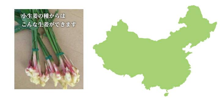 中国産小生姜 種生姜