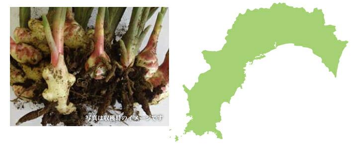 高知県産 近江種生姜