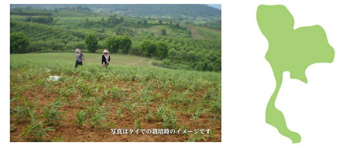 タイ産 種生姜 近江生姜