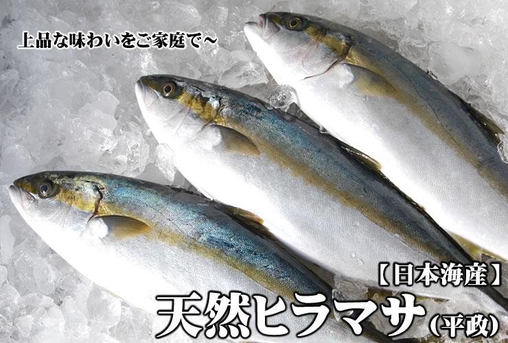 Natural Masa Hira [活締!] One (around 1 4 kg) Japan marine product