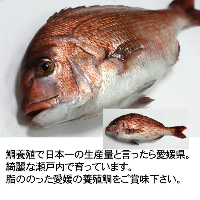 養殖 鯛 瀬戸内海 愛媛県 活き締め