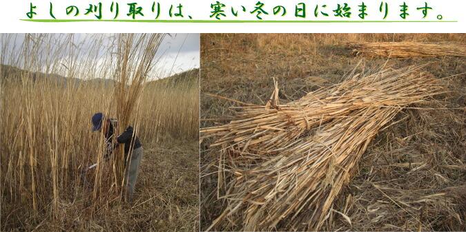 よしの刈り取りは、寒い冬の日に始まります。