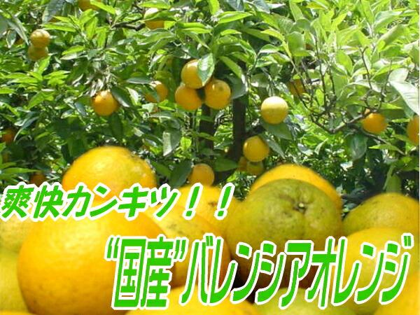 国産バレンシアオレンジ