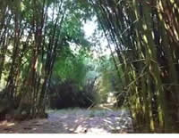 サンパウロの美しい竹農園