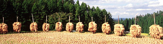 刈取・収穫