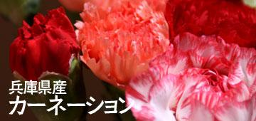 新鮮カーネーション 切り花