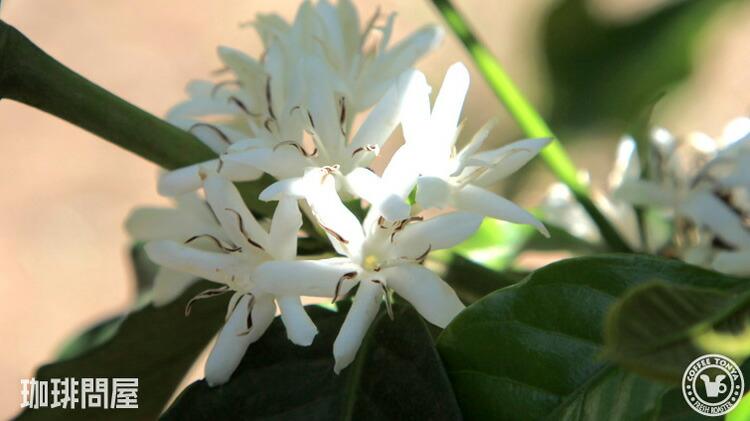 コーヒーの花〜農園風景
