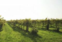 ガヴィオリブドウ畑