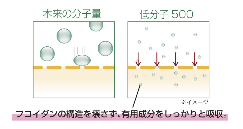 シーフコイダンは超低分子だから、その働きをもったまましっかり吸収。