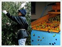 小豆島オリーブオイル収穫・選別・洗浄