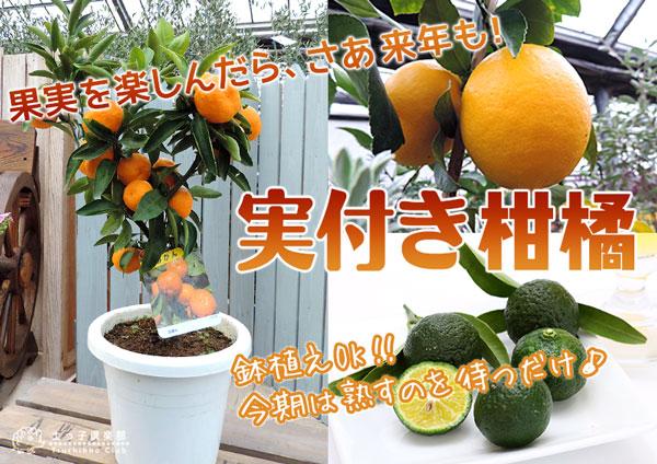 実付き柑橘