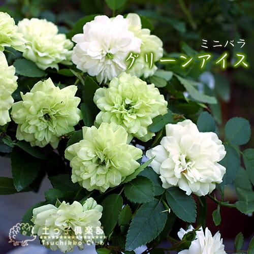 ミニバラ『グリーンアイス』9cmポット(四季咲き)【2個】