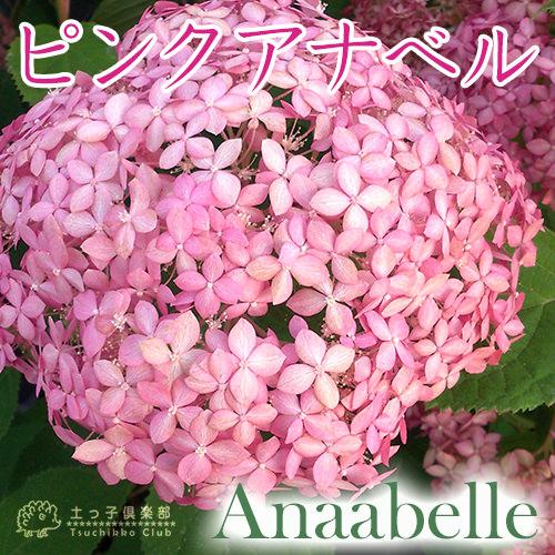 アジサイ『ピンクアナベル』10.5cmポット苗