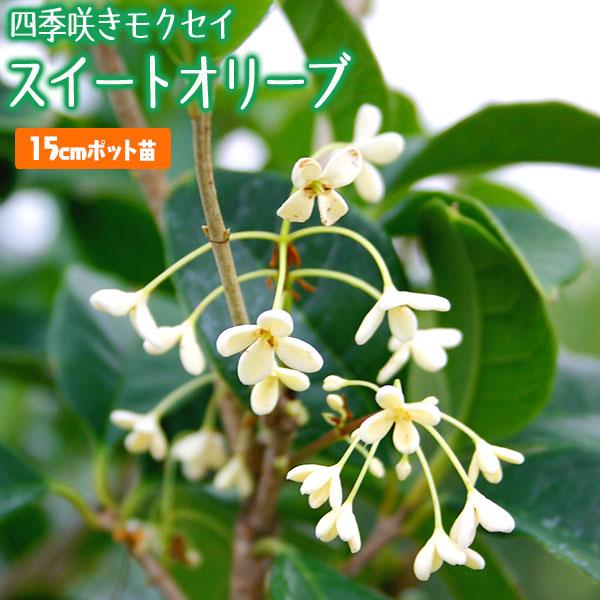 スイートオリーブ 『 四季咲きモクセイ 』 15cmポット苗