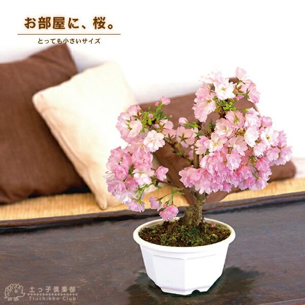 桜盆栽「一才桜」