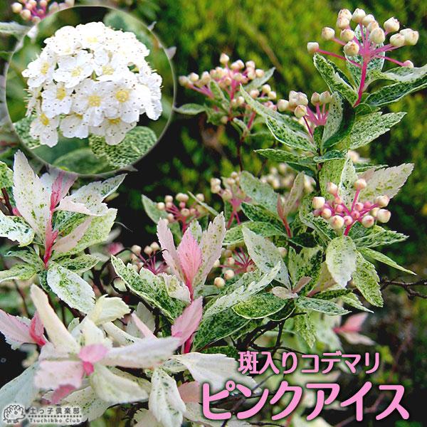 斑入りコデマリ『ピンクアイス』10.5cmポット苗