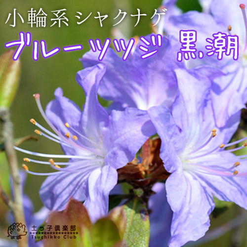 サカキ(榊) 10.5cmポット苗