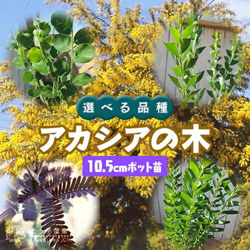 アカシアの木(ブルーブッシュ/三角葉/パール/プルプレア) 10.5cmポット苗【選べる品種】