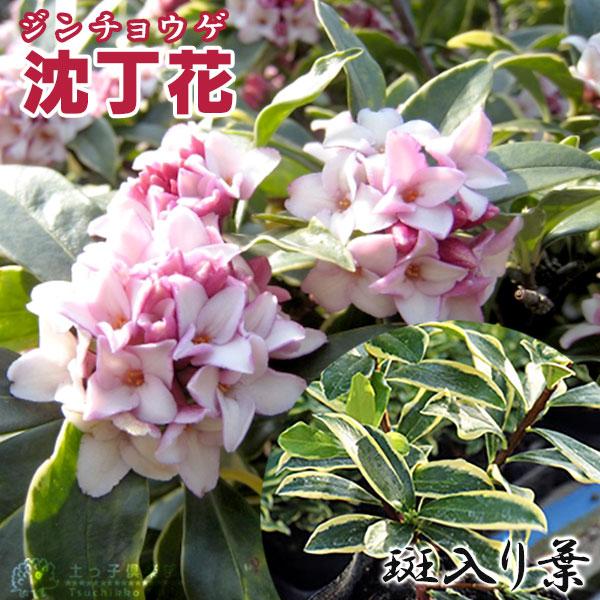 斑入り沈丁花赤花15cmポット苗(フクリンジンチョウゲ)
