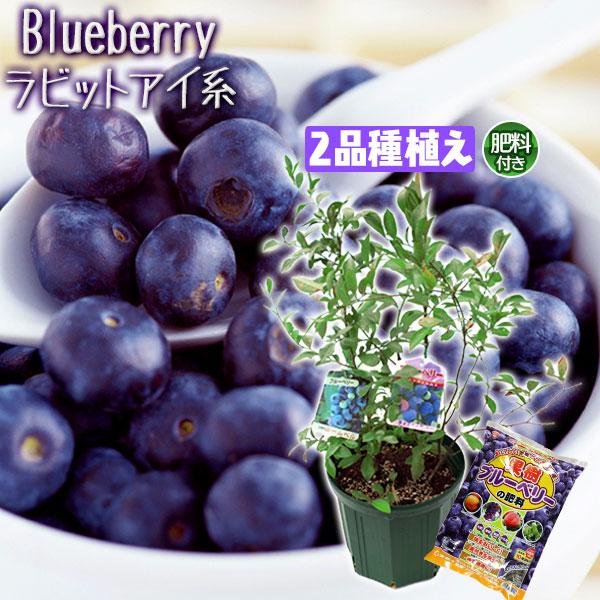 ブルーベリー『ラビットアイ系2品種植え』8号スリット鉢【肥料プレゼント!】