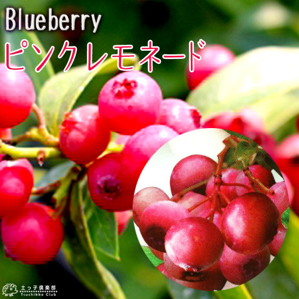 ブルーベリー『ピンクレモネード』