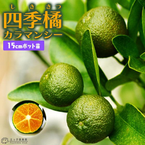 四季橘『カラマンシー』2年生15cmポット接木苗(四季柑)
