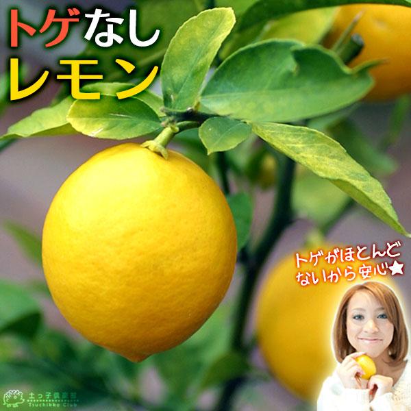 トゲなしレモン 6号鉢植え接ぎ木苗