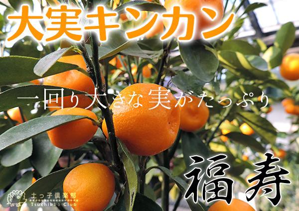 《実付き!!》大実キンカン(福寿金柑) 6号鉢植え