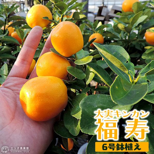 《実付き》大実キンカン(福寿金柑)接ぎ木苗6号鉢植え